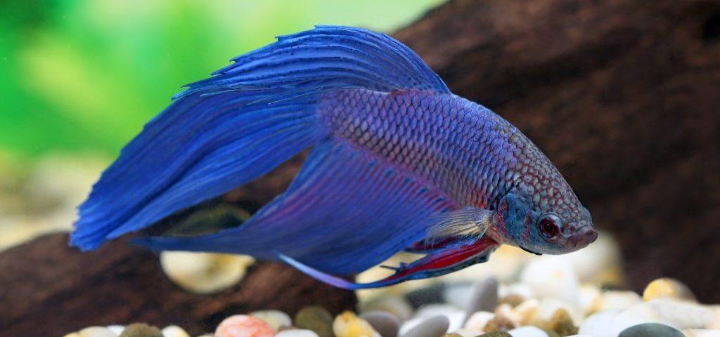 Forum akwarystyczne Ryby akwariowe Opisy ryb i roślin akwariowych